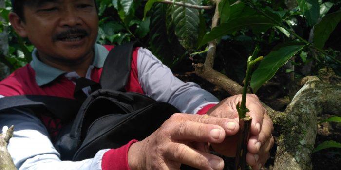 Tenik Sambung pucuk untuk peremajaan pohon kopi