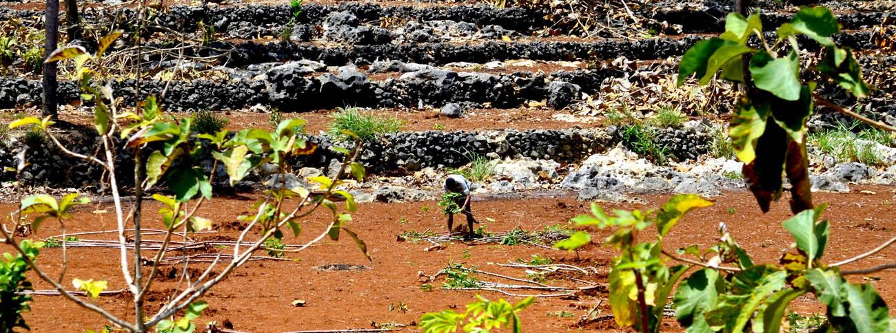 Seorang amongtani di seputar Pantai Ngrenehan sedang memanen ketela di lahannya.[Foto:NR]